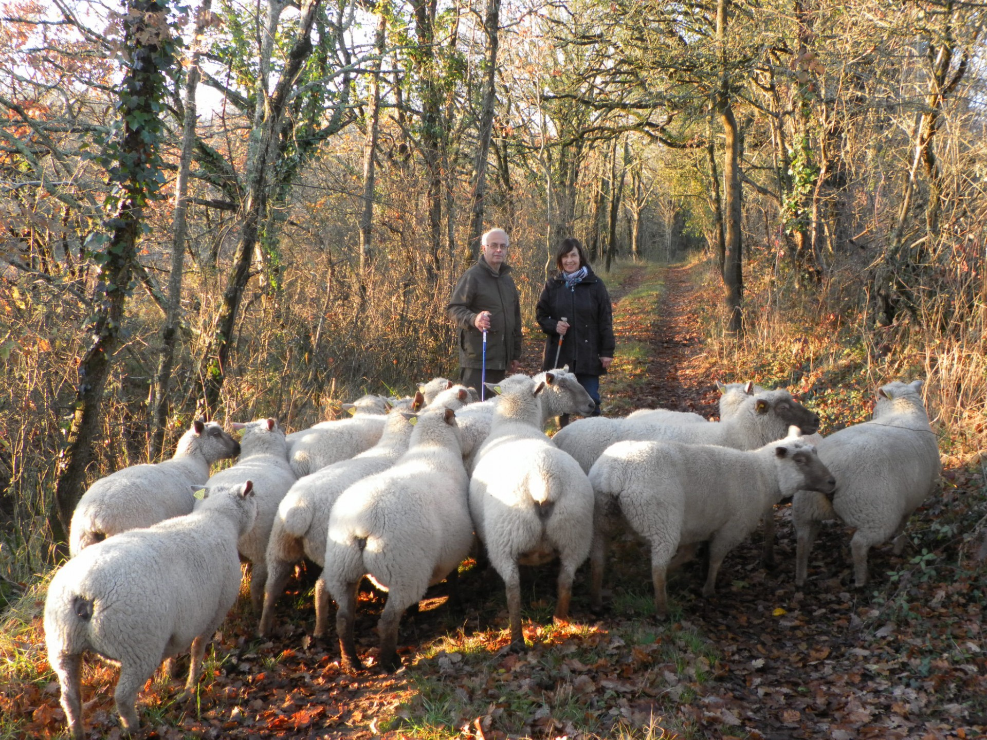 Conduite Des Moutons Vers Le Marais